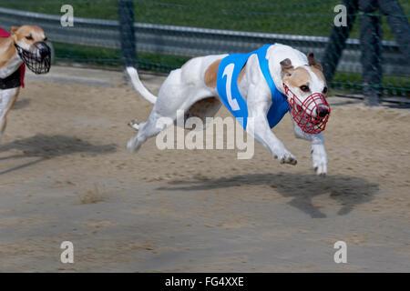 Windhundrennen, EM 2015 Hünstetten, Deutschland, Europa / Greyhound racing, EM 2015 Hünstetten , Germany, Europe - Stock Photo