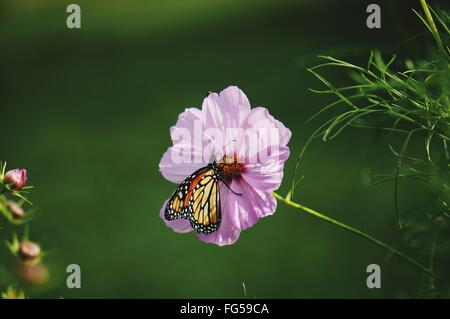 Monarch Butterfly On Purple Cosmos Flower - Stock Photo