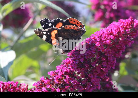 Close-Up Of Red Admiral Butterfly On Tiny Pink Flowers - Stock Photo