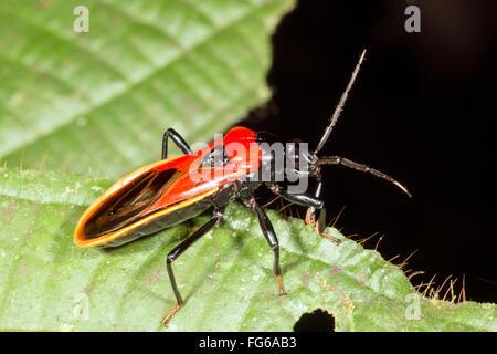 A brightly coloured assassin bug (family Reduviidae) in the rainforest, ecuador - Stock Photo