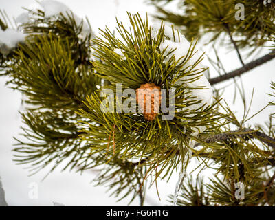 Single, solitary pine cone on evergreen branch surrounded by snow - Stock Photo