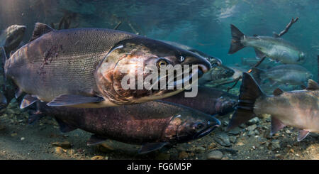 Ocean bright Coho Salmon (Oncorhynchus kisutch) on their spawning migration in an underwater view in an Alaskan - Stock Photo