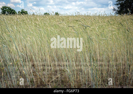 rye field on countryside in Mazovia (Mazowsze) region, Mazovian Voivodeship, Poland - Stock Photo