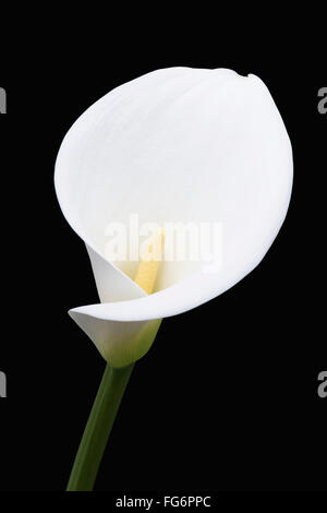 Close up of white arum or calla lily (Zantedeschia aethiopica), shot from the front against a black background; - Stock Photo