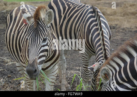 Close-Up Of Zebras Standing On Field By Lake - Stock Photo