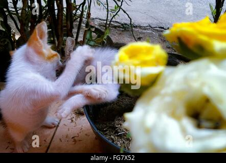 Close-Up Of Fresh Yellow Roses With Kittens Playing - Stock Photo