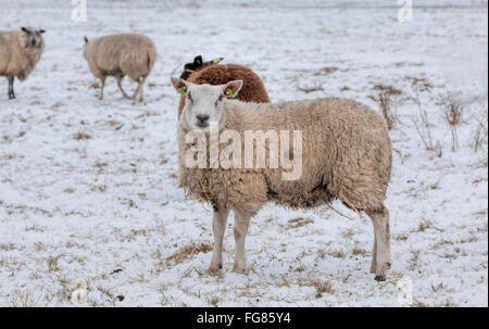 A flock of sheep in a snow-covered wintry landscape, Noordwijk, South Holland, The Netherlands. - Stock Photo