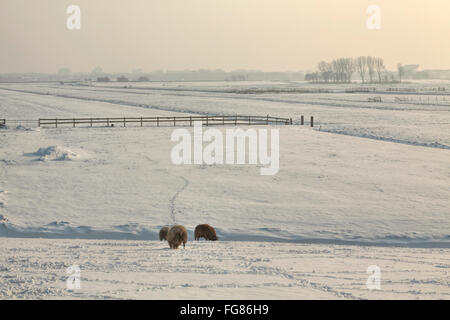 Sheep looking for food in a snow-covered wintry landscape, Leidschendam, South Holland, The Netherlands. - Stock Photo