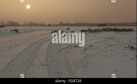 A flock of sheep in a snow-covered wintry landscape at sunset, Katwijk aan den Rijn, South Holland, The Netherlands. - Stock Photo