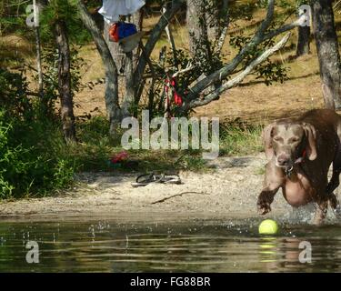Weimaraner Playing With Ball In Lake - Stock Photo