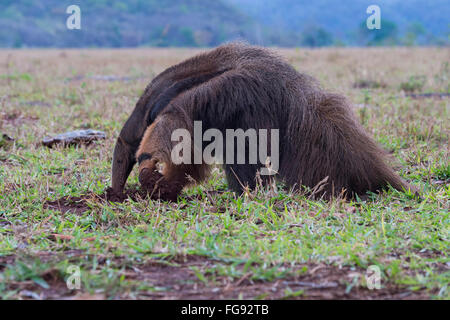 Giant Anteater (Myrmecophaga tridactyla) foraging and feeding in termite mound, Mato Grosso, Brazil - Stock Photo