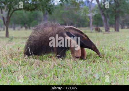 Giant Anteater (Myrmecophaga tridactyla), Mato Grosso, Brazil - Stock Photo