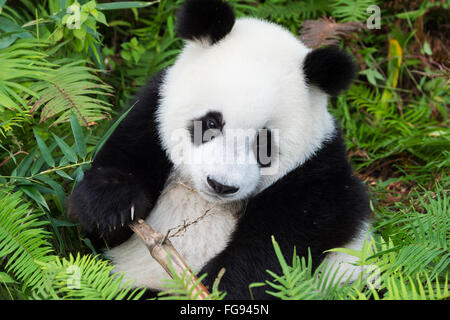 Two years aged young Giant Panda , China Conservation and Research Centre for the Giant Pandas, Chengdu, Sichuan, - Stock Photo