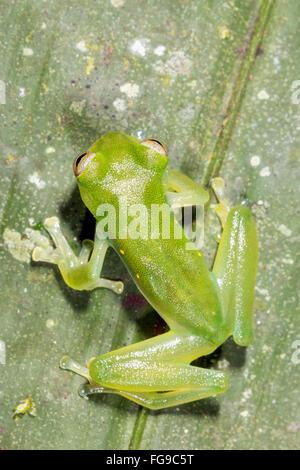 Santa Cecilia Cochran Frog (Teratohyla midas)  on a green leaf in Pastaza Province, Ecuador - Stock Photo
