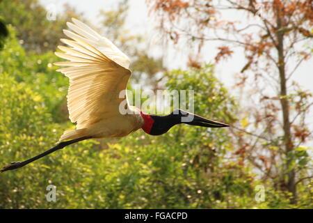 Jabiru Stork Flying Against Plants In Forest - Stock Photo