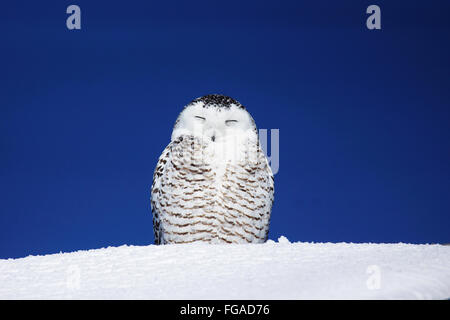 Female snowy owl, Bubo scandiacus, basking in the sun - Stock Photo