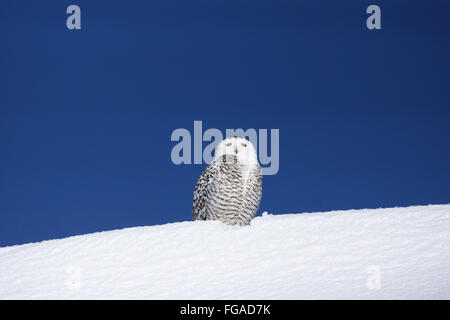 Snowy owl, Bubo scandiacus, on snow - Stock Photo