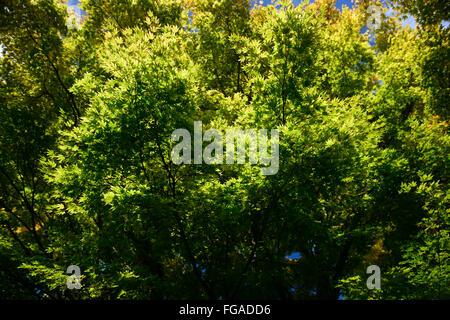 Acer palmatum Senkaki syn sango kaku coral-bark maple spring growth leaves RM Floral - Stock Photo