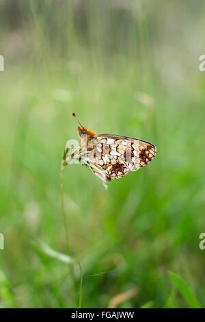 Small Pearl Bordered Fritillary Butterfly; Clossiana selene Single on Grass Cornwall; UK - Stock Photo