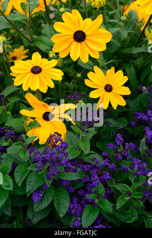 Rudbeckia Indian Summer Heliotrope marine mixed mix flower bed display bloom blossom flower yellow gold RM Floral - Stock Photo