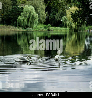 White Swans Swimming In Lake With Reflection - Stock Photo