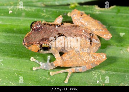 Kichwa Rain Frog (Pristimatis kichwarum) in the rainforest, Ecuador - Stock Photo