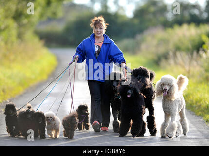 27th  August 2014, Wendy Grady walking her Giant Poodle dogs and pups on a country lane, near Broxburn, West Lothian, - Stock Photo