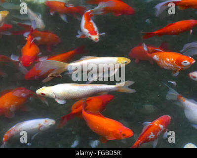 Koi carps in pond stock photo royalty free image for Pool koi aquatics ltd