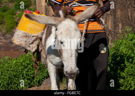 A donkey being led up from the river, carrying water strapped to its back. Ethiopia, Africa. - Stock Photo