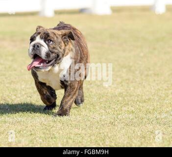 A small, young, beautiful, fawn brown brindle and white English Bulldog running on the lawn looking playful and - Stock Photo
