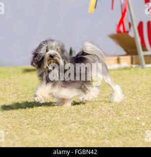 A profile view of a black, gray and white petit chien lion (little lion dog) walking on the grass. Lowchen has a - Stock Photo