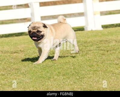 A small, young, beautiful, fawn Pug with a wrinkly short muzzled face running on the lawn looking playful and cheerful. - Stock Photo