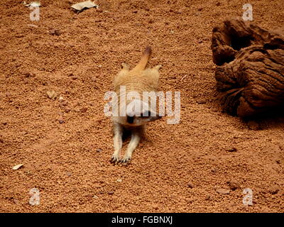 High Angle View Of Meerkat Relaxing On Field - Stock Photo