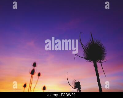 Low Angle View Of Dry Silhouette Thistle Against Sky At Sunset - Stock Photo