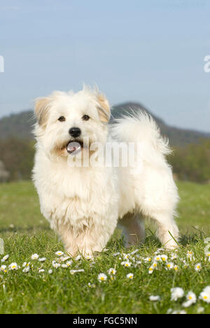 Coton de Tulear. Adult dog standing on a meadow. Germany - Stock Photo