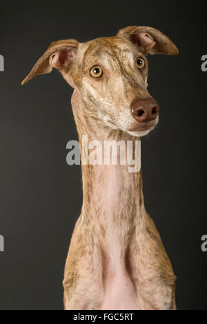Galgo Espanol, Spanish Greyhound. Portrait of adult, seen against a black background. Germany - Stock Photo