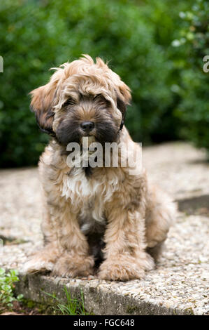 Tibetan Terrier (Canis lupus f. familiaris), brown white ...