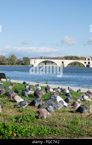 Pigeons on the banks of the River Rhone near St. Benezet bridge/ Pont d'Avignon, Avignon, Provence region, France - Stock Photo