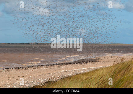 A large flock of knot (Calidris canutus) coming in to land next to a small flock of oystercatchers (Haematopus ostralegus) - Stock Photo