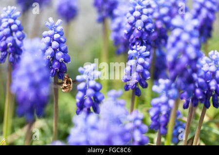 close up of a bee in a garden of blue grape hyacinth flowers stock photo