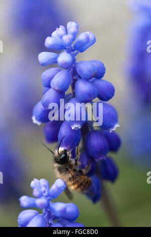 Close up of a bee in a garden of blue Grape Hyacinth flowers - Stock Photo