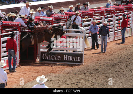 Calgary Stampede bucking horse and cowboy Calgary Herald Greatest Show On Earth rodeo - Stock Photo