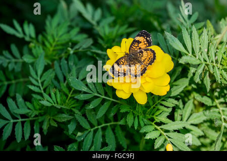 A Silvery Checkerspot butterfly, Chlosyne nycteis, on French Marigolds, Tagetes petula. Oklahoma, USA - Stock Photo