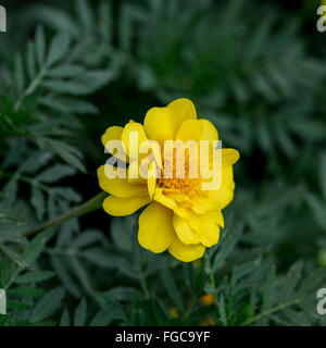 A yellow French Marigold, Tagetes patula, in a flower bed in Oklahoma, USA.Flowers often used as a spice in cuisine. - Stock Photo