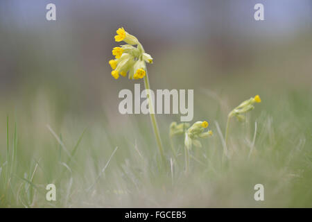 Cowslip (Primula veris) in a meadow, Thuringia, Germany - Stock Photo