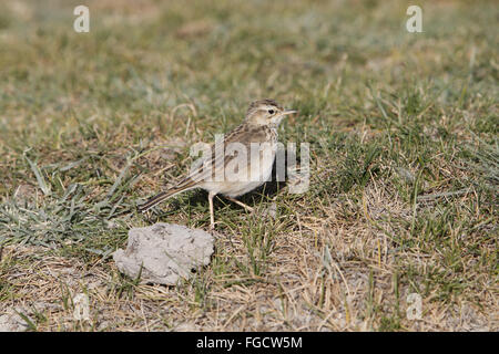 Grassland Pipit (Anthus cinnamomeus) adult, walking in low grass, Lake Abijatta, Abijatta-Shalla N.P., Oromia Region, - Stock Photo