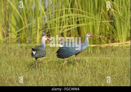 Grey-headed Swamphen (Porphyrio poliocephalus) adult pair, walking on grass, Bundala N.P., Sri Lanka, March - Stock Photo