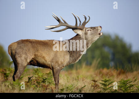 Confirm. And mature male red deer urbanization