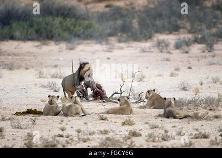 Transvaal Lion (Panthera leo krugeri) adult male, taking Gemsbok (Oryx gazella) carcass from five adult females, - Stock Photo