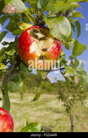 Common Wasp (Vespula vulgaris) adult workers, feeding on damaged Cultivated Apple (Malus domestica) 'Lord Lambourne' - Stock Photo